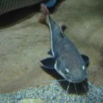 Prospek Bisnis Ikan Lele yang Murah dan Mudah