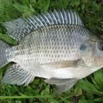 Prospek Budidaya Ikan Nila Datangkan Keuntungan Jutaan Rupiah