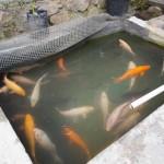 Prospek Bisnis Budidaya Ikan Mas Keuntungan Jutaan Rupiah