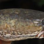 Budidaya Ikan Gabus