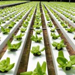 Hidroponik, Solusi Cerdas Bertanam di Lahan Sempit Perkotaan