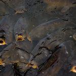 Budidaya Ikan Mas, Bisnis Mudah dan Cepat Dapat Keuntungan
